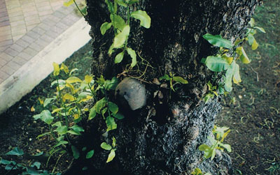 American M1 Helmet in tree Mendana Hotel