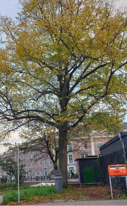 Liberation Tree Childs of the Jordaan Amsterdam