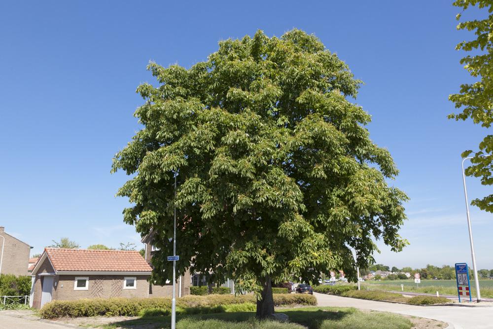 Liberation tree Hoek