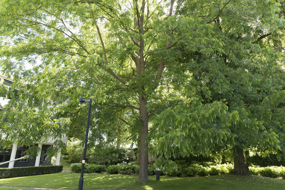 The Old Hickory Friendship Tree